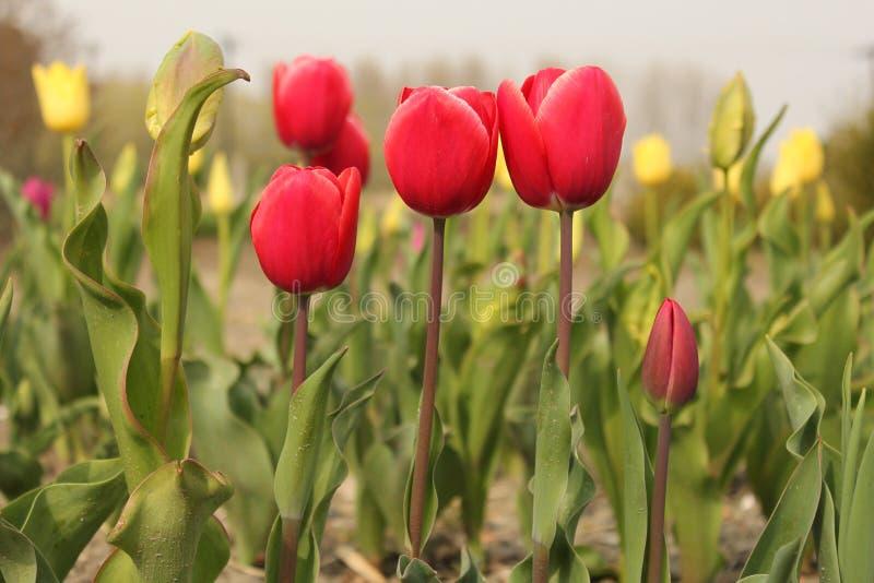 Plan rapproché rouge de trois tulipes dans un parterre photo stock