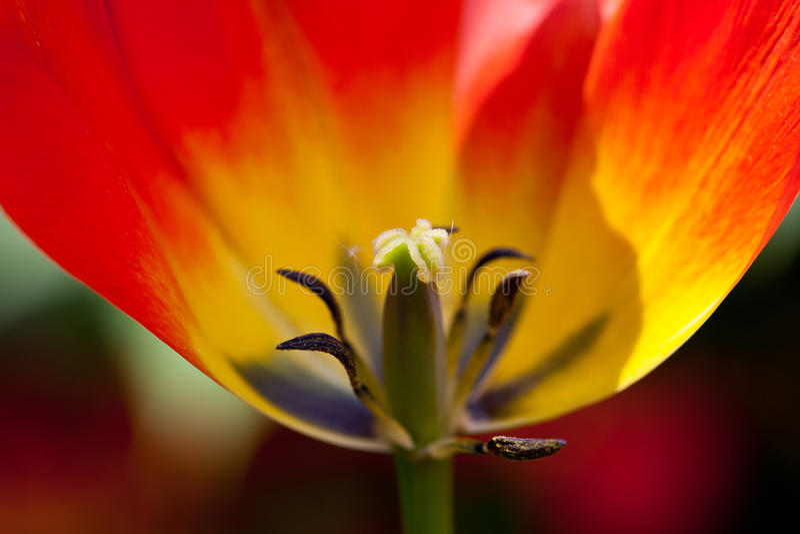 Plan rapproché rouge de tulipe photos libres de droits
