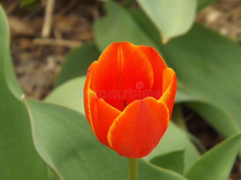 Plan rapproché rouge de tulipe photos stock