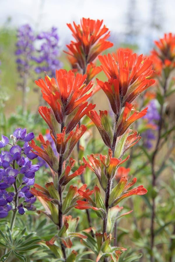 Plan rapproché rouge de Wildflowers de pinceau indien photos stock