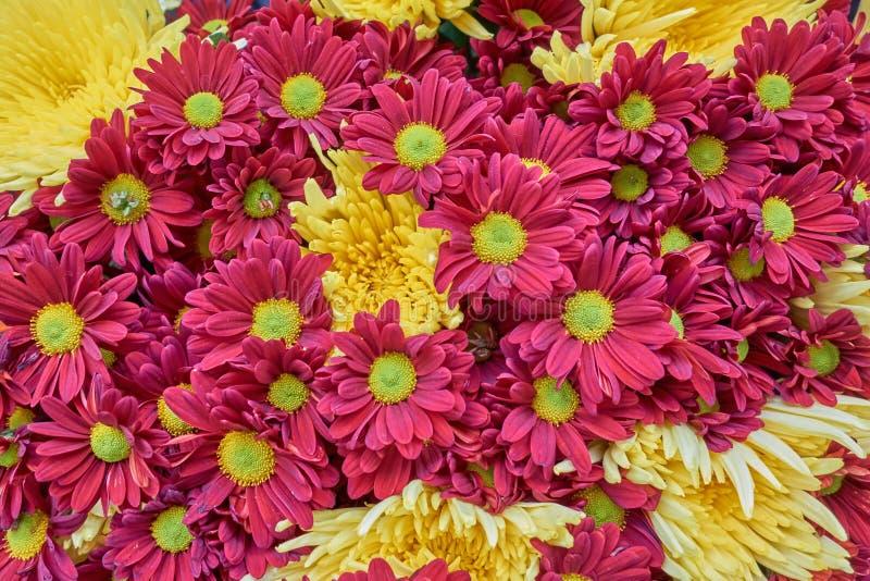 Plan rapproché rouge et jaune de chrysanthèmes images stock