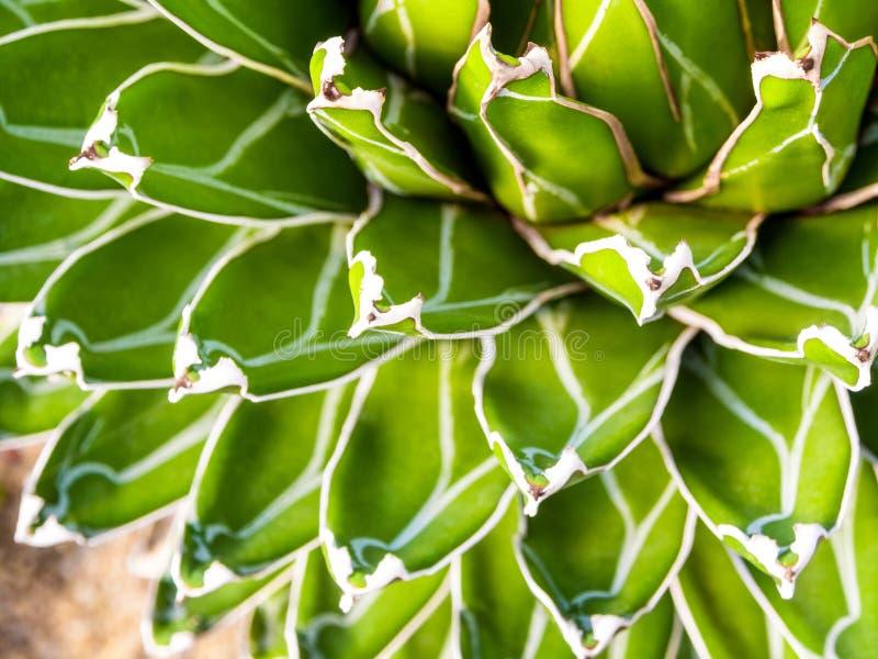 Plan rapproché succulent d'usine, détail frais de feuilles des reginae de victoriae d'agave images libres de droits