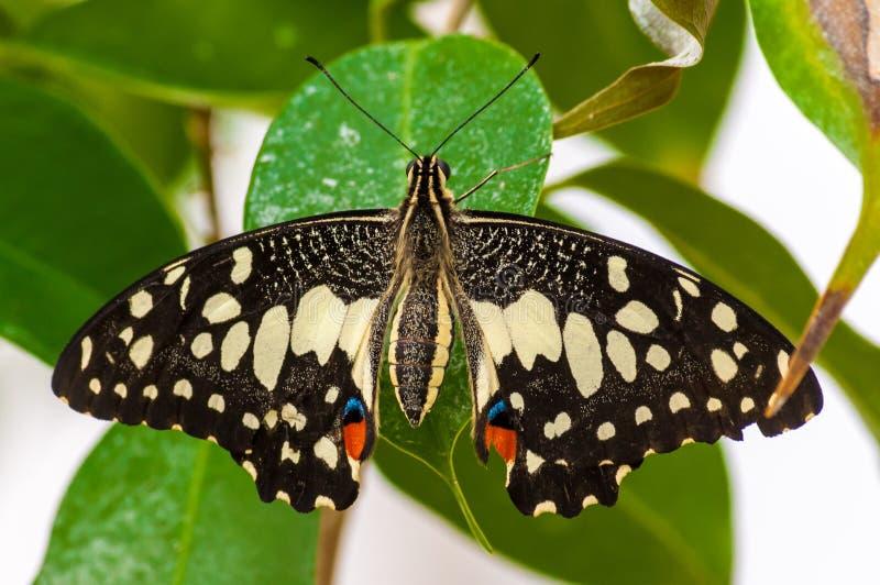 Plan rapproché sur butterlfy tropical photographie stock libre de droits