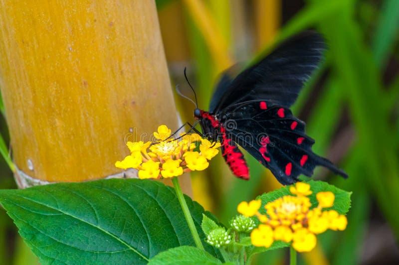 Plan rapproché sur butterlfy tropical images libres de droits