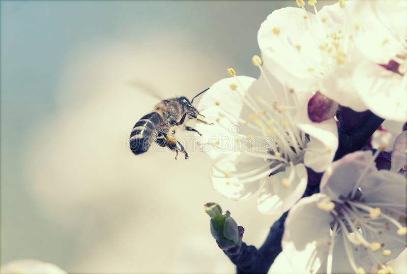 Plan rapproché sur l'abeille de vol photos stock