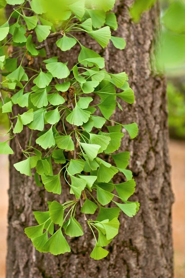 Plan rapproché sur l'arbre de Biloba de Ginkgo photo libre de droits