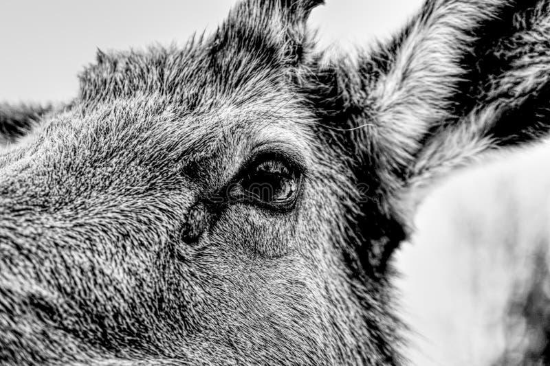 Plan rapproché sur l'oeil de cerf-BandW-HDR photo stock