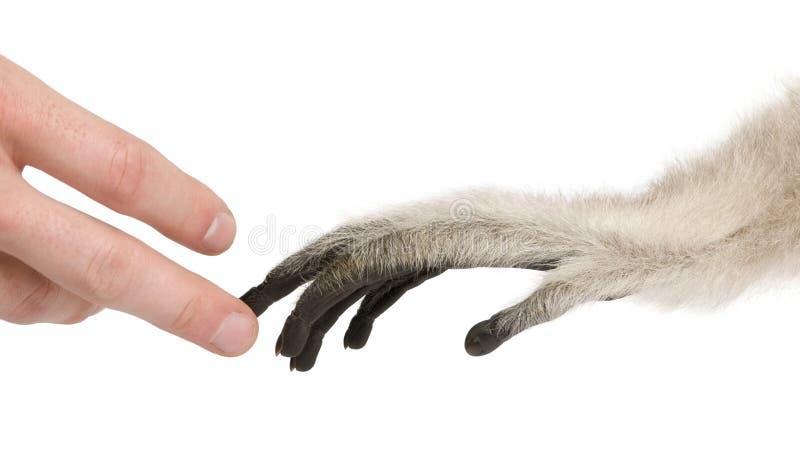 Plan rapproché sur la main humaine touchant jeune Pileated Gibbon, 4 mois image stock