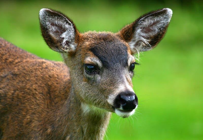 Plan rapproché sur le faon suivi noir de cerfs communs photos libres de droits