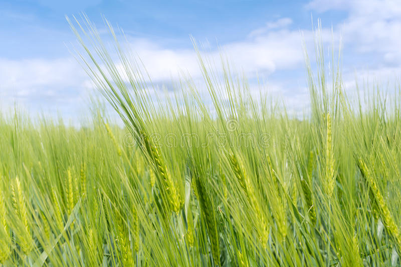Plan rapproché sur le jeune blé vert image libre de droits
