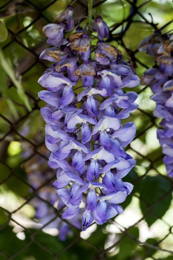 Plan rapproché sur les fleurs pourpres de glycine - photographie photos libres de droits