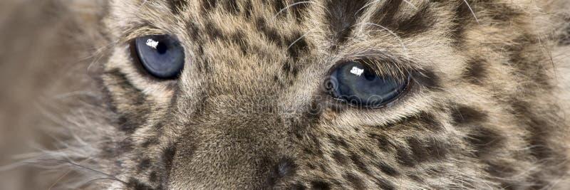 Plan rapproché sur un léopard persan Cub (6 semaines) images stock