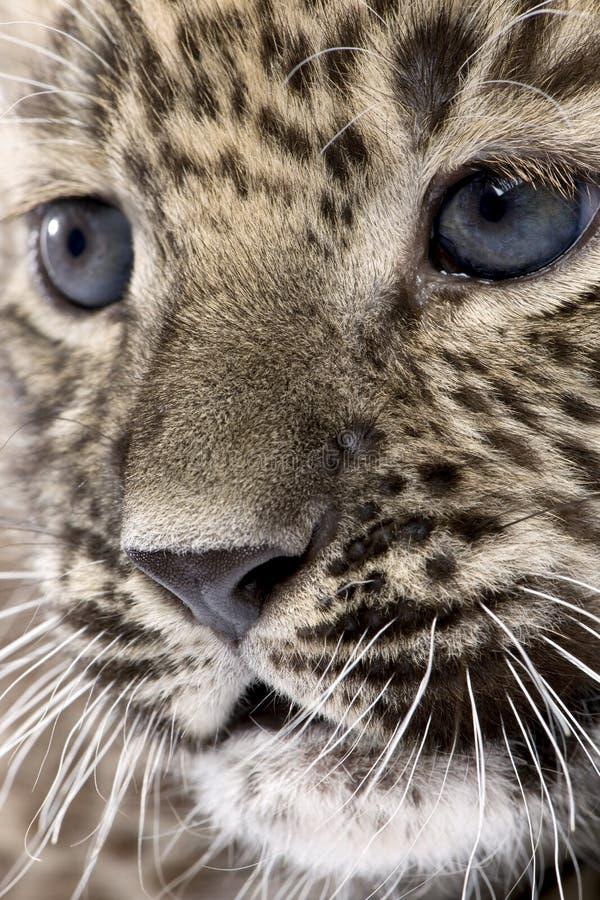 Plan rapproché sur un léopard persan Cub (6 semaines) image libre de droits