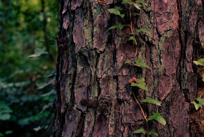Plan rapproché tiré d'un arbre épais dans une forêt avec la verdure sur elle et un fond naturel brouillé images libres de droits