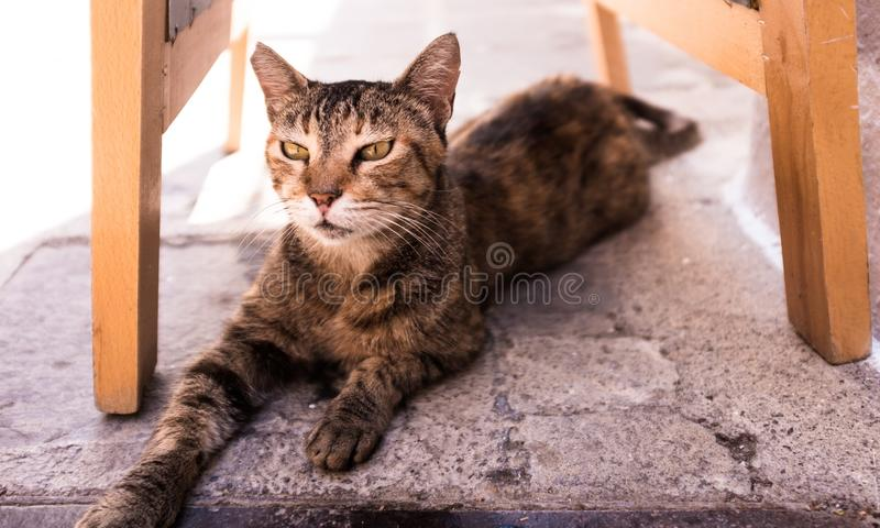 Plan rapproché tiré d'un chat mignon domestique s'étendant sous une chaise image stock