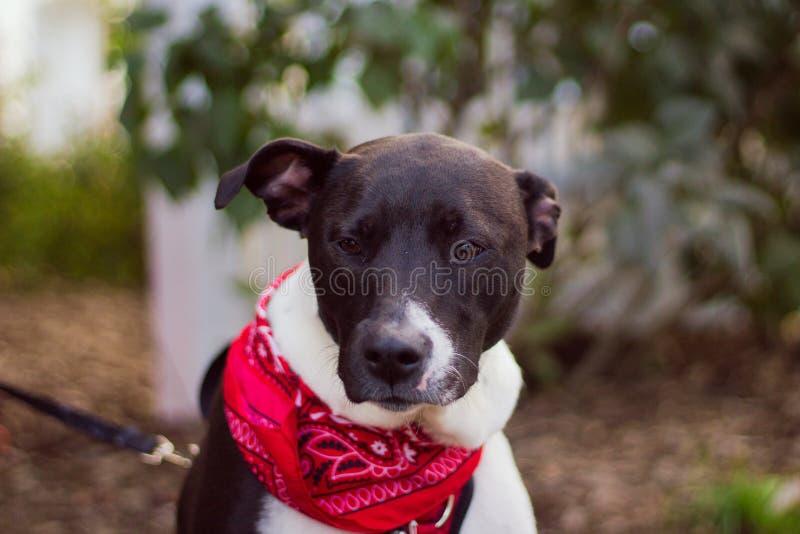 Plan rapproché tiré d'un chien mignon avec un bandana rouge autour du cou avec le fond brouillé photos libres de droits