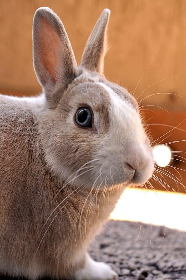 Plan rapproché tiré d'un lapin mignon un jour ensoleillé avec le fond brouillé photo libre de droits