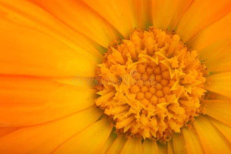 Plan rapproché tiré de la fleur orange de calendula photographie stock libre de droits