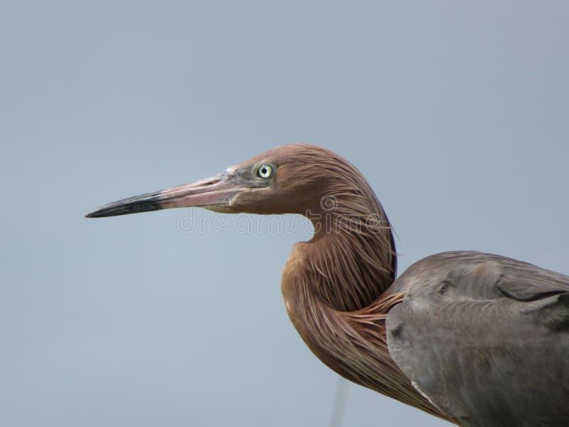 Plan rapproché tropical de l'oiseau marin de héron rougeâtre sur l'île la Floride de Sanibel image libre de droits
