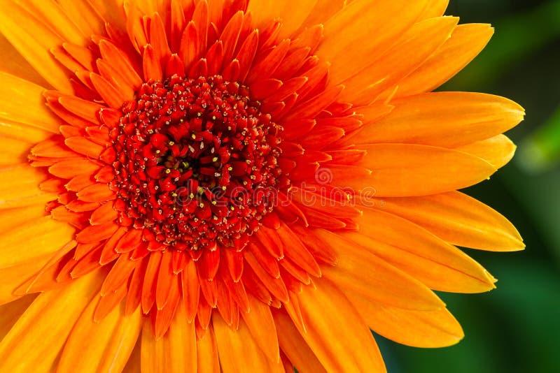 Plan rapproché une fleur orange de marguerite de gerbera image stock