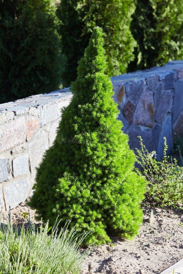 Plan rapproché vert conique et beau impeccable canadien d'arbre images stock