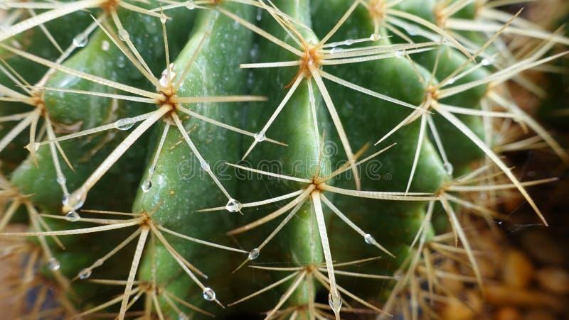 Plan rapproché vert d'épine de cactus images stock