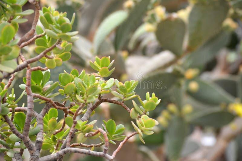 Download Plan Rapproché Vert D'usine De Cactus Photo stock - Image du closeup, noël: 77163182