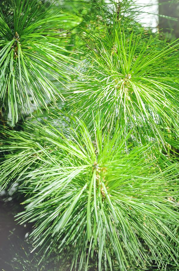 Plan rapproché vert de branches de pin, beau fond photographie stock