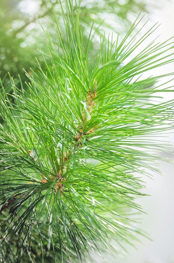 Plan rapproché vert de branches de pin, beau fond image libre de droits