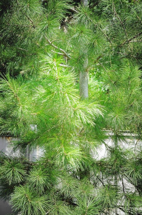 Plan rapproché vert de branches de pin, beau fond photos libres de droits