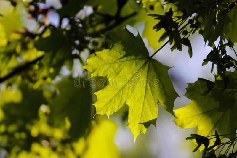 Plan rapproché vert de feuille d'érable avec le fond image libre de droits