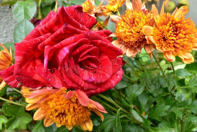 Plan rapproché vert rouge de fleur de jardin images libres de droits