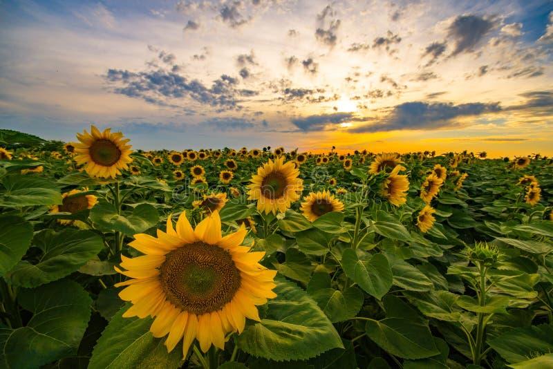 Plan rapproché vibrant de gisement de tournesol dans le coucher du soleil en été photographie stock