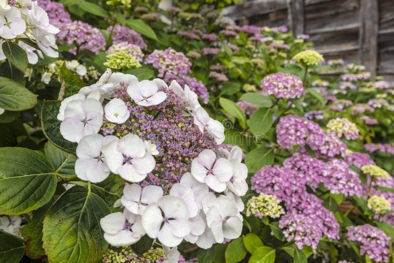 Plan rapproché violet de fleurs de chapeau de dentelle d'hortensia de Macrophylla image libre de droits