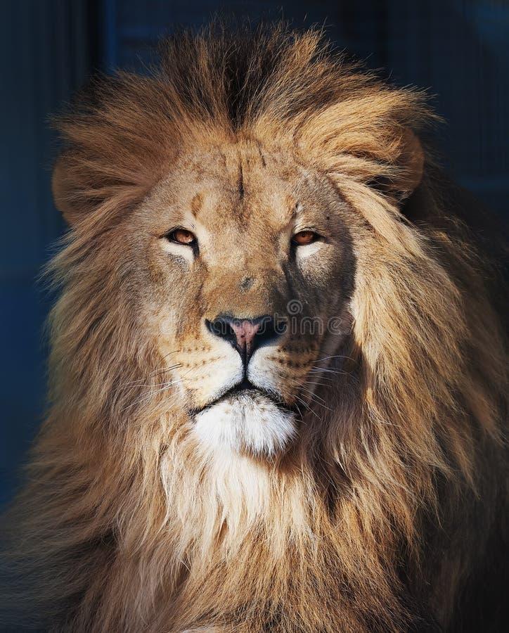 Plan rapproch? africain de portrait s?rieux de lion photographie stock