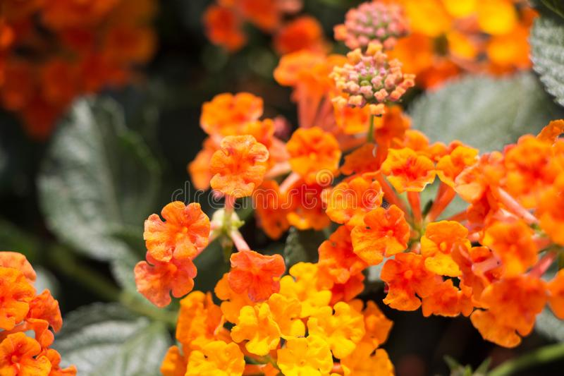 Plan rapproch? au Lantana Camara Flowers avec des feuilles photos libres de droits
