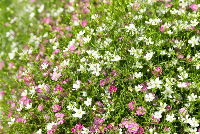 Plan rapproch? beaucoup petit fond de fleurs de rose de gypsophila et blanches photos libres de droits