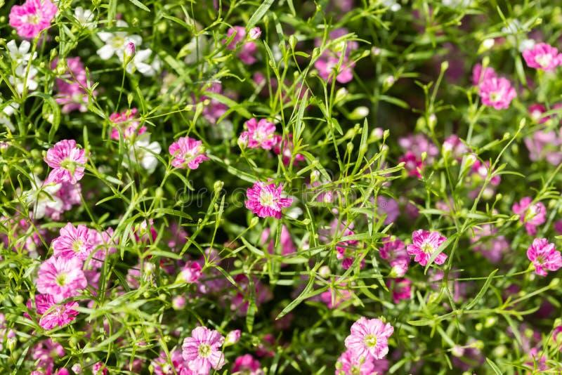 Plan rapproch? beaucoup petit fond de fleurs de rose de gypsophila et blanches photographie stock libre de droits
