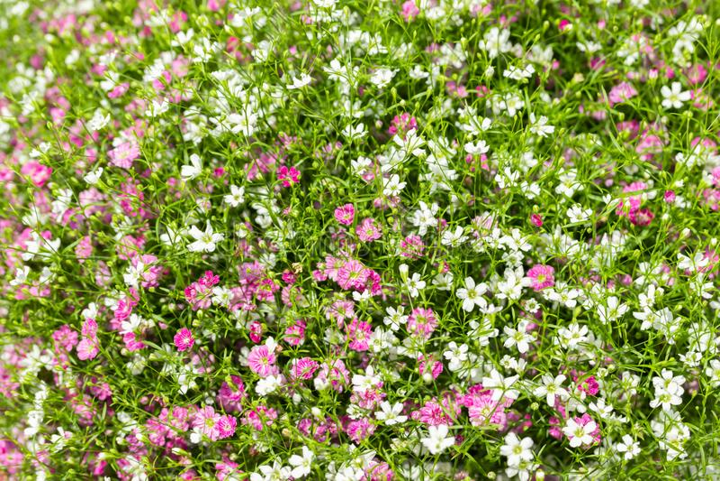 Plan rapproch? beaucoup petit fond de fleurs de rose de gypsophila et blanches images stock