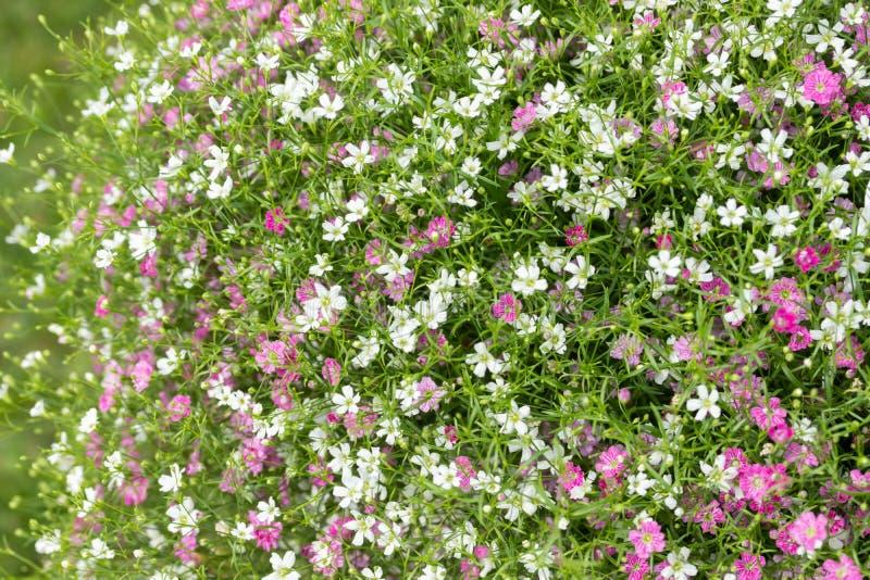 Plan rapproch? beaucoup petit fond de fleurs de rose de gypsophila et blanches images libres de droits