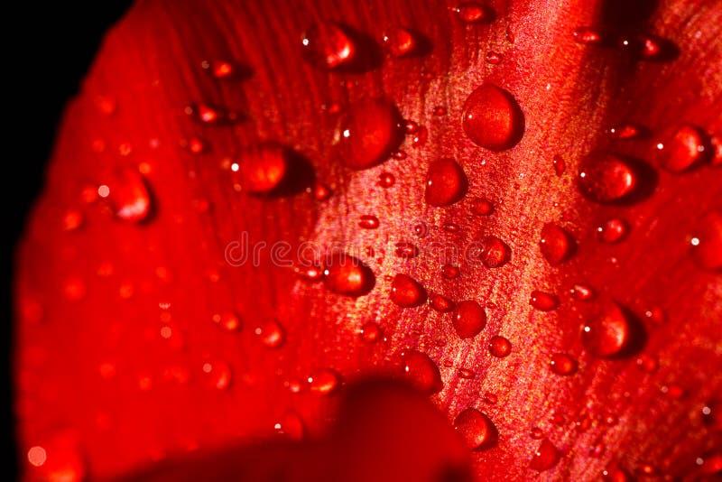 Plan rapproch? d'une feuille de tulipe rouge dans les gouttes de l'eau sous les rayons de la lumi?re du soleil images libres de droits