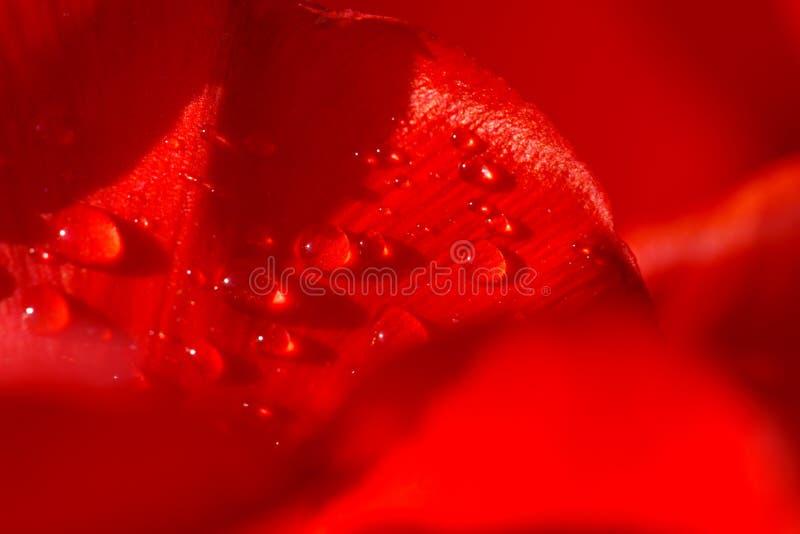 Plan rapproch? d'une feuille de tulipe rouge dans les gouttes de l'eau sous les rayons de la lumi?re du soleil photographie stock libre de droits