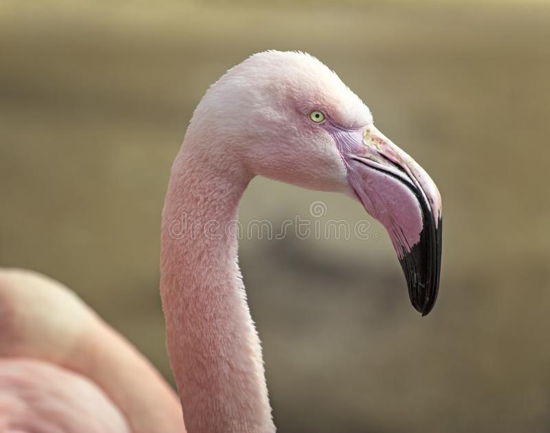 Plan rapproch? de flamant rose photos libres de droits