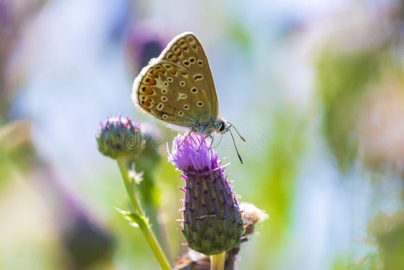 Plan rapproch? de pollination bleu commun femelle de Polyommatus Icare de papillon photo libre de droits
