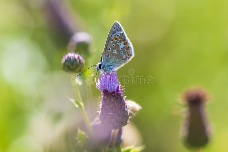 Plan rapproch? de pollination bleu commun femelle de Polyommatus Icare de papillon image libre de droits