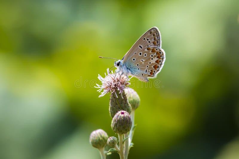 Plan rapproch? de pollination bleu commun de Polyommatus Icare de papillon photo stock