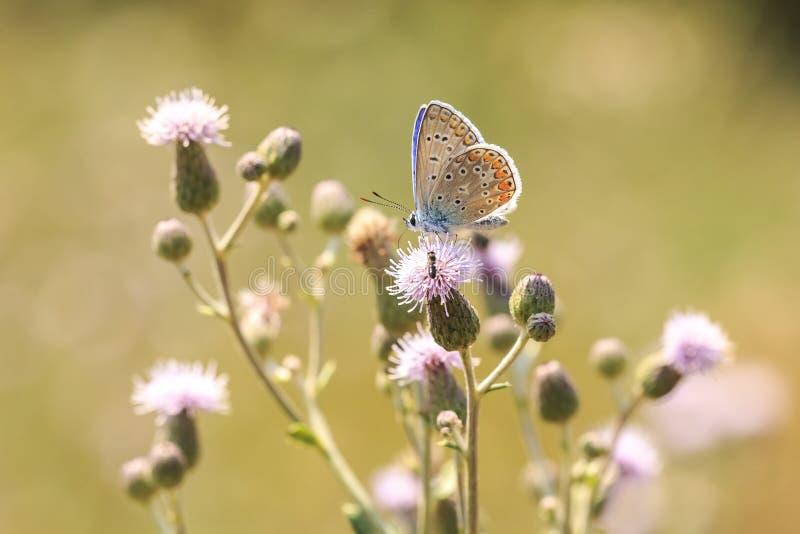 Plan rapproch? de pollination bleu commun de Polyommatus Icare de papillon photographie stock libre de droits