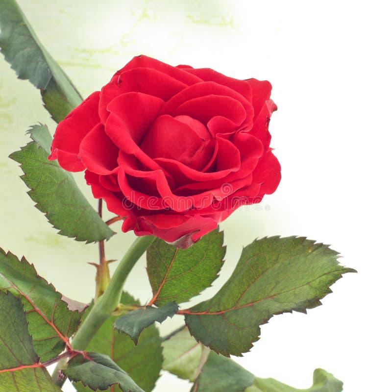 Plan rapproch? de Rose Le rouge a mont? Belle Rose images libres de droits