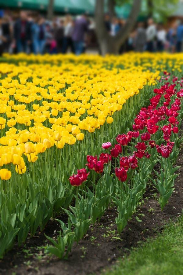 Plan rapproch? de tulipes au printemps Tulipes colorées dans le jardin d'agrément, arborétum Lit de fleur en parc image libre de droits