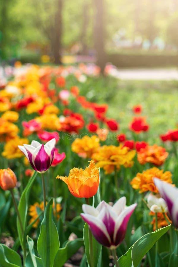 Plan rapproch? de tulipes au printemps Tulipes colorées dans le jardin d'agrément, arborétum Lit de fleur en parc photos libres de droits